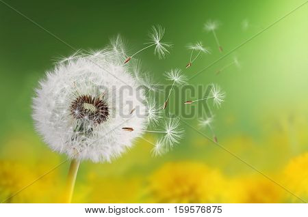 Dandelion clock in morning. Nature dandelion. summer