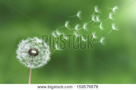 Dandelion. Nature dandelion seeds. blowing, light, macro