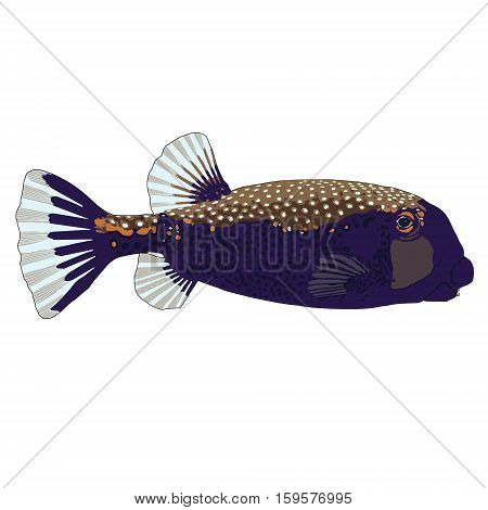 Spotted Boxfish (male) Vector Illustration on white background