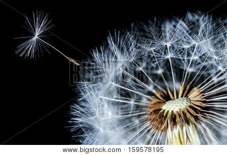 Dandelion on black Background. Nature dandelion.blowing dandelions. seeds