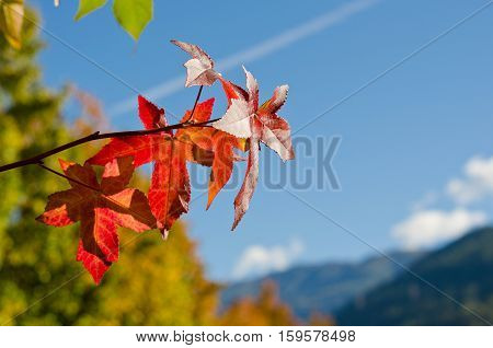 Branch with red leaves on a background of blue sky shallow depth of field