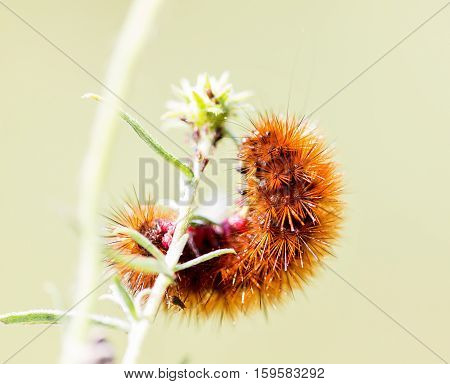 A orange hairy caterpillar on a wild flower found in central Mexico.