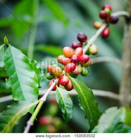 Coffee Beans On The Branch. Robusta Coffee