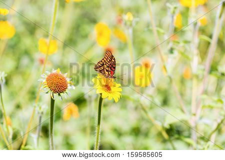 The Mexican Silverspot is a species of butterflies of the subfamily Heliconiinae in the family Nymphalidae found from southern USA to South America.