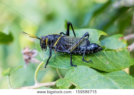 The western horse lubber grasshopper is a relatively large insect species of the family found in the arid lower Sonoran life zone of the southwestern United States and  Mexico.