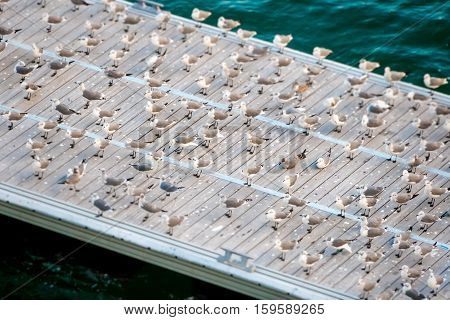 A flock of seagulls gathering on the pier to rest and groom.