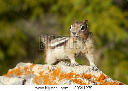 Squirrel chipmunk. A small animal in the Canadian woods