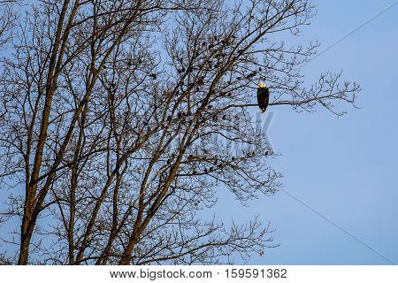 Bald Eagle (Haliaeetus leucocephalus) perched in a tree surrounded by black birds.