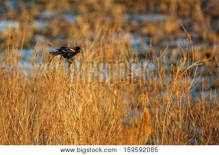 Red-winged Blackbird (Agelaius phoeniceus) trying to attract a female.