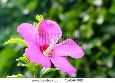 Pink Hibiscus Syriacus Flower