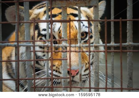Tiger Behind Bars
