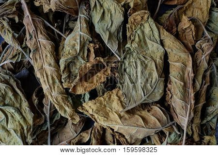 Tobacco Leaves Are Dried