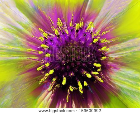 bright flower on a iridescent blurred background. Macro. Closeup. Furry violet-yellow center. Pistils sticking out like needles. For design. Nature.