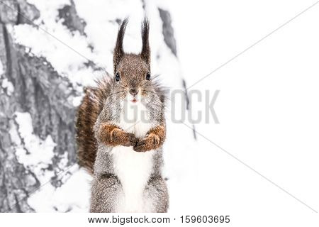Fluffy Cute Red Squirrel Standing On Snowy Tree Trunk In Winter Forest