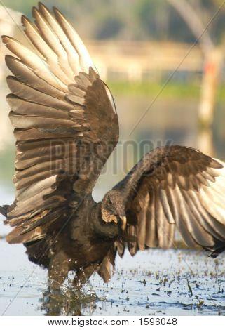 Vulture 008