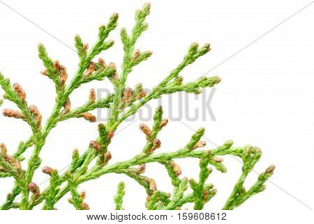 thuja blossom on the white background.Macro of thuja branch.