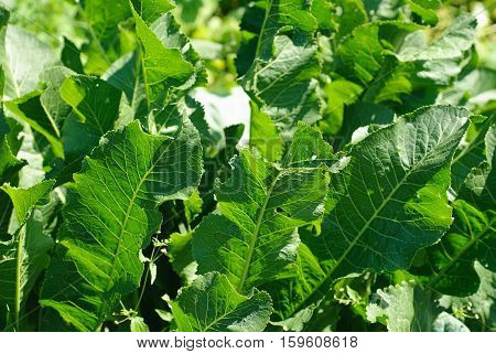 Horseradish ( Cochlearia armoracia )  green leaves background