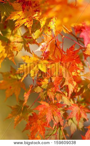 Beautiful Red Japanese Maple Leaves At Fall