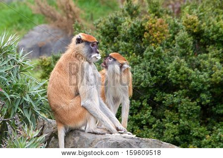 Female Patas Monkey sitting on a rock behind plants with trees in background looking to viewers right avoiding looking at young monkey trying to get the food from her mouth.