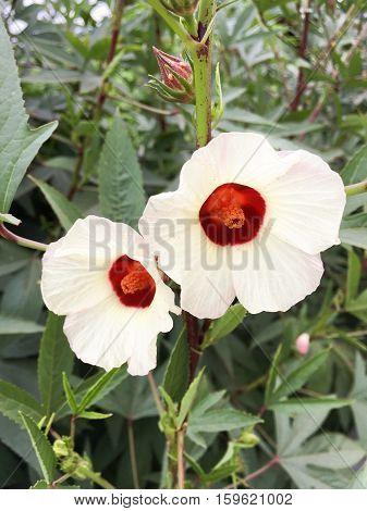 close up hibiscus sabdariffa flower in nature garden