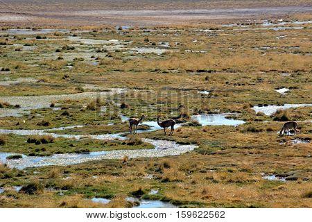 The Guanaco in Atacama desert in Chile