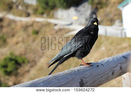 Blackbird / The Alpine chough / Birds sitting on a pole