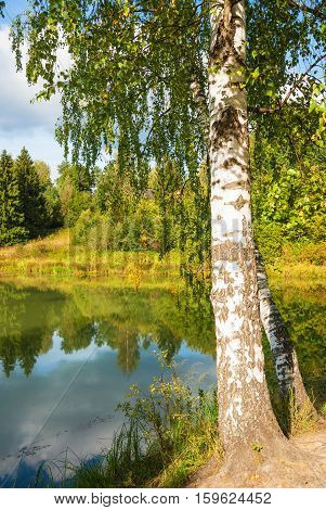 Birch growing on the lake in the autumn forest