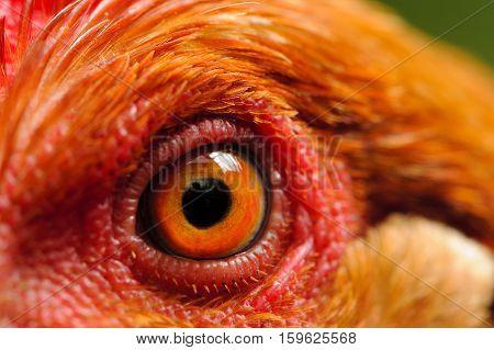 A macro shot of a chicken eye