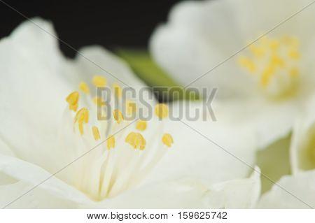 A macro shot of pretty white jasmine flowers