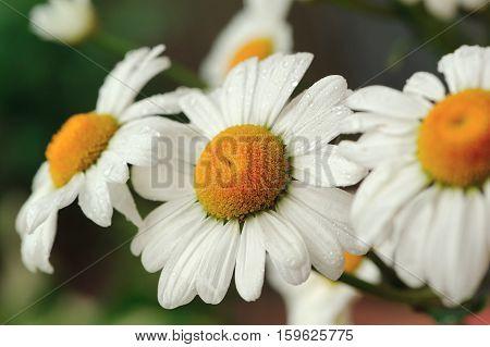 A close-up shot of beautiful daisy flowers