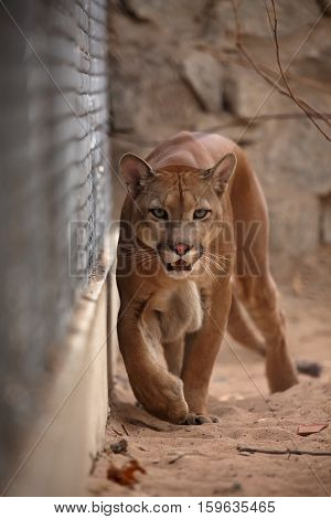 The cougar or mountain lion in Brazil