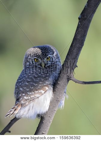 Perching Pygmy Owl (Glaucidium passerinum) at the branch. Moscow Russia
