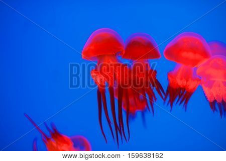 Red Jellyfish In Aquarium