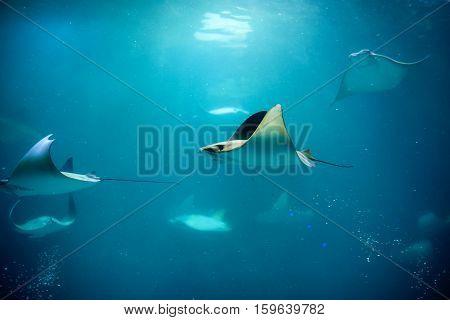 Stingray swimming in aquarium in the zoo