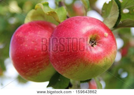 Red Wealthy apples on apple tree branch.