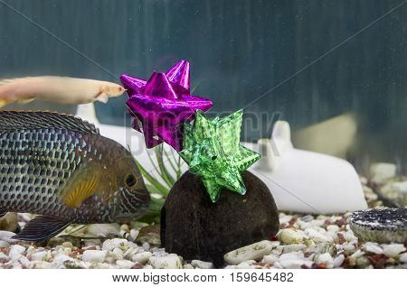 Fish swimming next to the New Year or Christmas gifts laid on the bottom of a fish tank indoor closeup