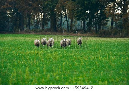 Herd Of Sheep In Field Running Towards Camera.