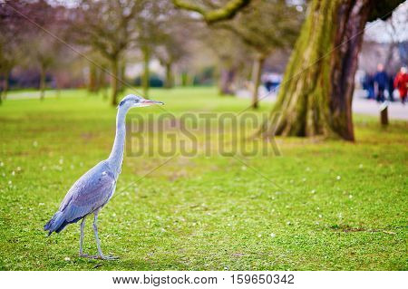Heron walking on the grass in Regent's park of London UK