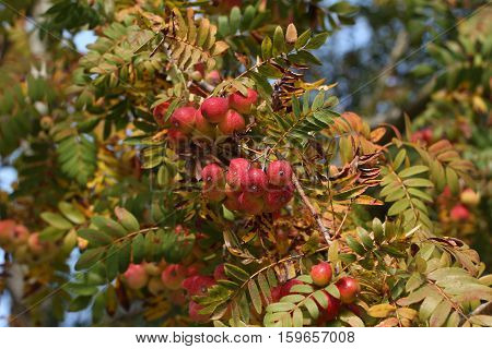 Sorbus domestica  / Fruits ripen on the tree