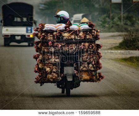 Transportation Of Alive Chicken On A  Motorbike In Vietnam Asia