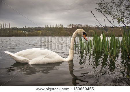Mute Swan (Cygnus Olor) swimming calmly close to camera on lake