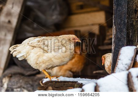 Home chicken in the poultry yard in winter.