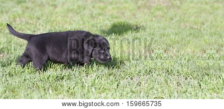 Website banner of a Labrador Retriever puppy dog as walking in the grass