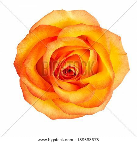 Bud of yellow roses on white background
