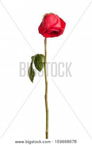 Wither red rose on a white background