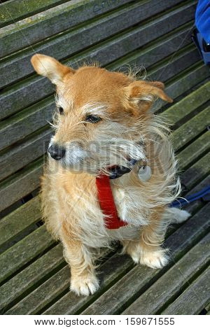 Cute pet Jack Russell X Yorkshire terrier cross mongrel dog sat on a slatted wooden bench.