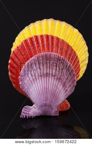 Colorful sea shells of mollusk isolated on black background close up