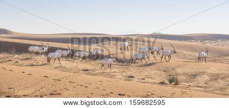 Arabian Oryx (oryx leucoryx) in a desert near Dubai