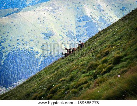 chamois family on a trip on a slant hill