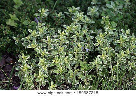 Origanum Vulgare Variegated (oregano)